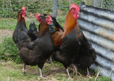 French Marans (Dark Egg Strain) group - Photo by Luke Price